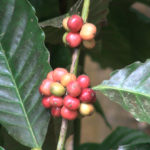 Tobago_coffee_beans_s-3022012-9-220
